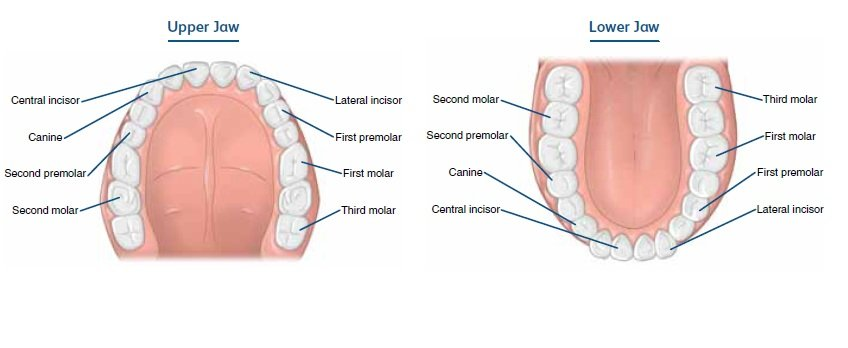 Tooth Types Tooth Development Childrens Oral Health Dental